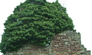 West gable wall - early 2015 with ivy ''sail''